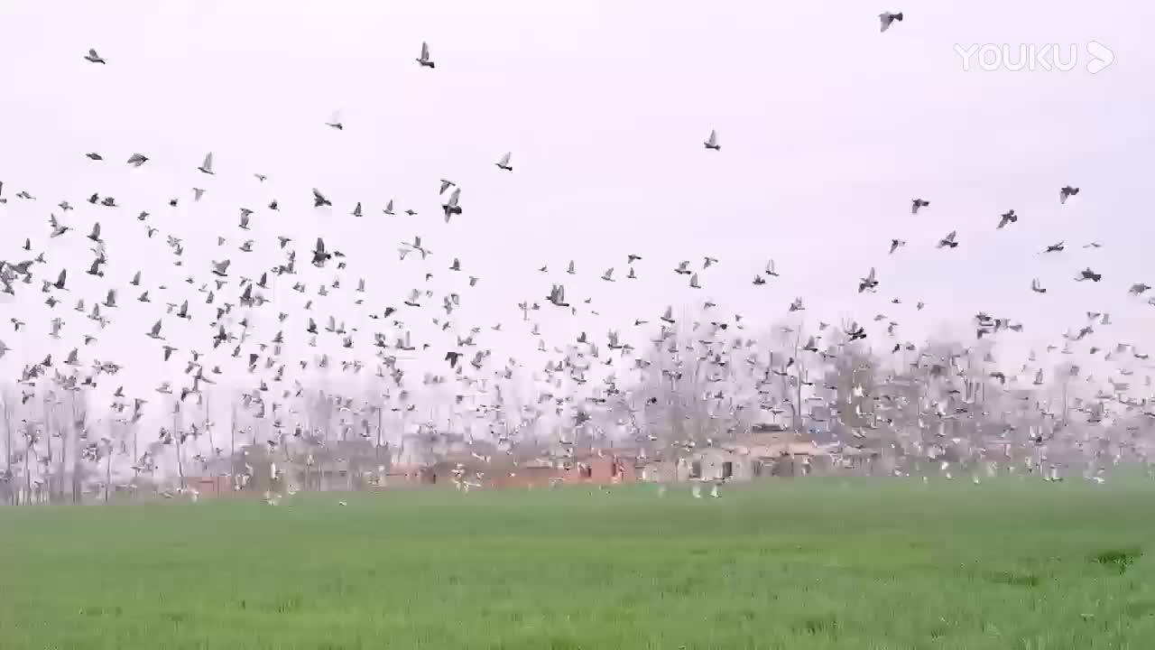 安徽福禄缘赛鸽中心2020年第二次8公里训放